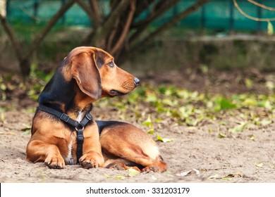 hunting dog Tiroler Bracke