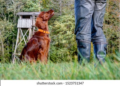 Hunting dog training. The 6-month-old Irish Setter looks attentively to his trainer, who is training with him in front of his hunting pulpit in the hunting area.