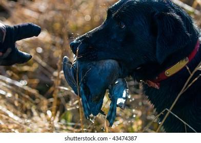 A hunting dog waits to hand over a duck he retrieved.