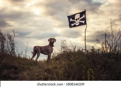 Chien de chasse Weimaraner surveillant sur une colline en face du ciel spectaculaire du coucher du soleil pendant la saison de chasse