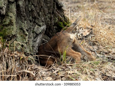 Hunting dog young border terrier in the spring forest. Hunting dog searches a fox in the hole.