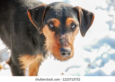 Hunting dog young Jagdteriere in the winter field. Fox hunting