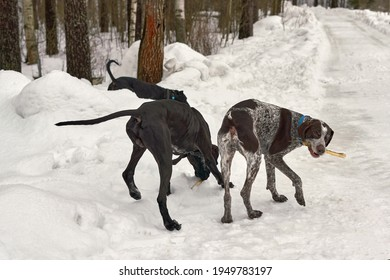 Hunting dogs walk along snowy forest road