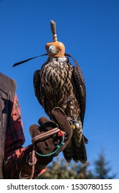 Hunting falcon with leather hood. Beautiful trained Peregrine falcon with mask. Predator with a leather cap on his head. Falco, young hawk with his prey.