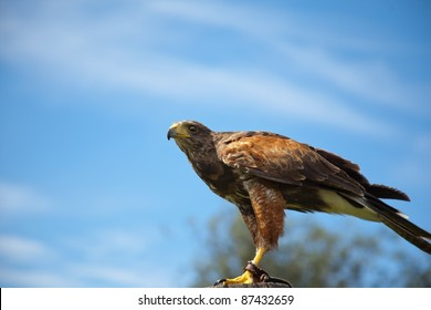 A hunting Harris Hawk with a blue sky background
