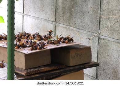 Hunting for hornets using rat glue. Sticking hornets
