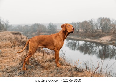 HUNTING hungarian vizsla DOG  in the field on the hunt looks at the prey