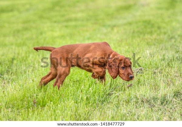 The hunting Irish Setter is a classic English pointing dog and his great talent as a pointer dog is already evident as a puppy.