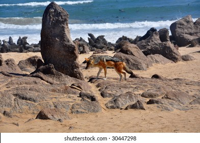 Hunting jackal on Skeleton coast in Namibia