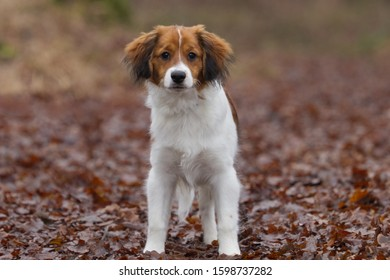 Hunting Kooiker dog walking in the forest