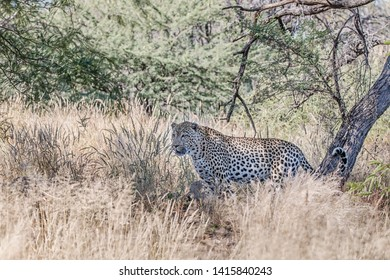 hunting leopard in dry grass of the african bush