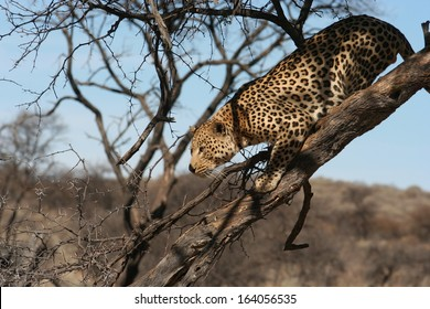 Hunting Leopard in a Tree