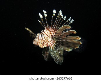 Hunting lionfish at night