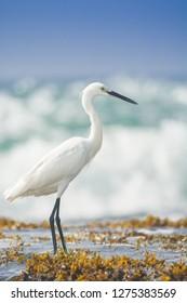Hunting Little egret on the sea coast, close up, Egretta garzetta, Tangalle, Sri Lanka, Asia