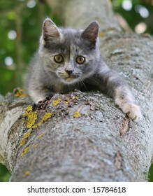 hunting little gray kitten on a tree