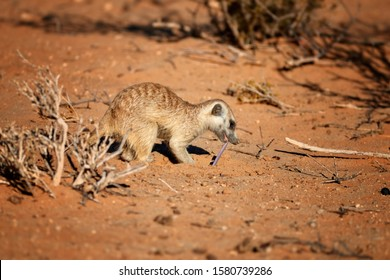 Hunting meerkat, Suricata suricatta, pulling from the sand Kalahari Dwarf Worm Lizard, Zygaspis quadrifrons.  Meerkat eating small snake. Wildlife scene from Kalahari desert. Rooiputs, Botswana