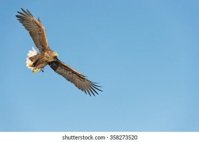 A hunting Norwegian White-tailed Eagle in flight, against a blue sky.  Image has negative space for text.