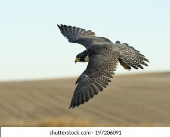 Hunting Peregrine Falcon