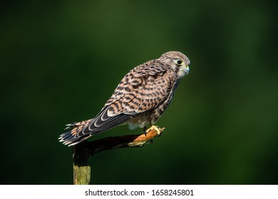 The hunting position in profile for the young kestrel (Falco tinnunculus) with a nice green defocused background