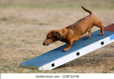 Hunting purebred dog red sable dachshund running on a dog-walk on agility competition outside on summer time