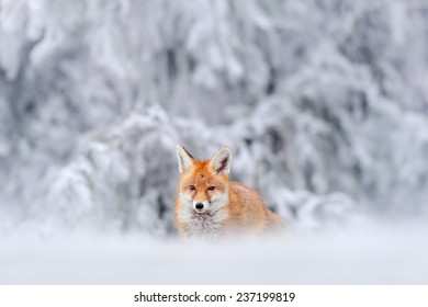 Hunting Red Fox in snowy winter. Orange animal in white snow.