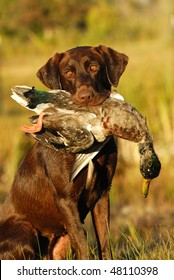 Hunting Retriever