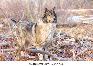 Hunting scene with dogs. East Siberian Laika (related breed husky) - weasel disappeared in brushwood, dog stomps his feet and barks trying to scare animal. Dog portrait, unpretentious dog