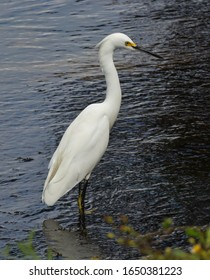 A hunting Snowy Egret in marsh