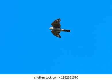 Hunting Sparrowhawk, Accipiter Nisus, in awesome flight against blue sky