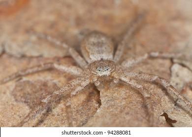 Hunting Spider camouflaged on wood, macro photo