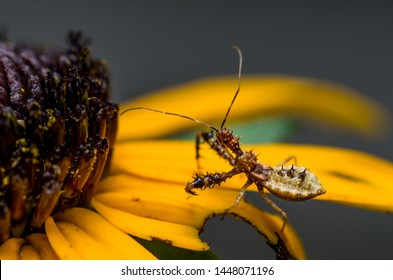 Hunting spiny spike covered Assassin bug, Reduviidae, hemiptera True Bug, on yellow petal of a black-eyed susan flower, macro close-up insect, North Carolina