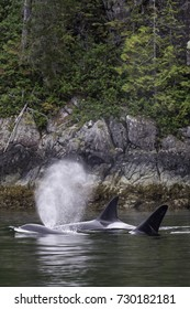 Hunting transient Orca pod off Vancouver Island, British Columbia Canada.