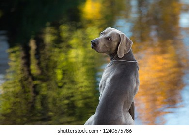 Weimaraner Funny Stock Photos, Images & Photography
