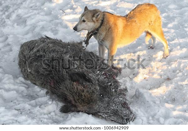 Hunting Wild Boar Dogs Husky Stock Photo (Edit Now) 1006942909