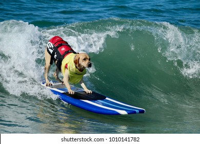 Huntington Beach, CA - September 23, 2017: Surf City Surf Dog Surfing Competition