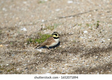 Huntington Beach, Calif., Feb. 18, 2020 As word that a frozen 46,000-year-old Horned Lark was discovered in Siberia, this modern-day version was spotted at the Bolsa Chica Ecological Reserve.