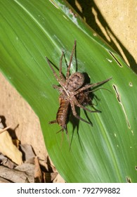 A Huntsman Spider Attacking And Carrying Locust