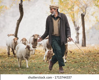 Hunza Valley, Pakistan - October 2019: Pakistani man in traditional clothes. Sheep autumn pasture cattle hunza valley, gilgit baltistan, pakistan northern areas