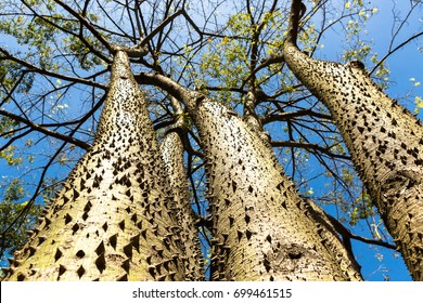 Hura crepitans is a perennial tree belonging to the Euphorbiaceae family, native to the tropical forests of the Americas, including the Amazon Forest.