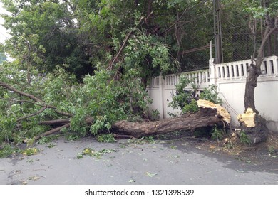 Hurricane aftermath, huge trees fallen. Broken trees in half. Destruction after the invasion of elements