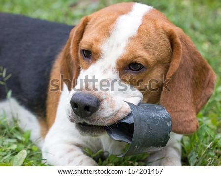 Hush Puppies Dog Stock Photo Edit Now 154201457 Shutterstock