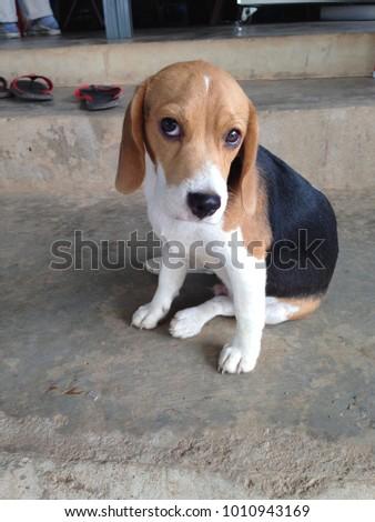 Hush Puppy Dog Sitting On Floor Stock Photo Edit Now 1010943169