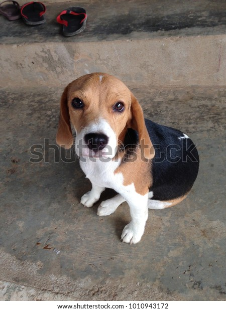 Hush Puppy Dog Sitting On Floor Animals Wildlife Stock Image 1010943172