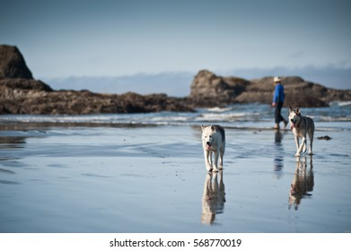 huskies dogs taking a walk with a woman in beach of Ruby Beach, Olympic National Park,Washington State, USA