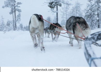 Huskies exitedly running and pulling a sled through snowy Arctic landscape on a cold winter day. Riisitunturi, Kuusamo, Finland.