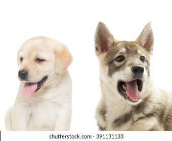 Huskies and labrador muzzle on a white background - Shutterstock ID 391131133
