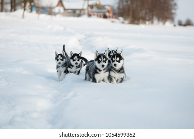 Huskies Playing in the Snow