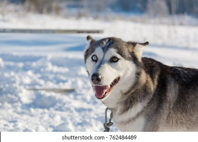 Huskies. Riding haskiya in the winter. Draft dogs in the winter in a team.
