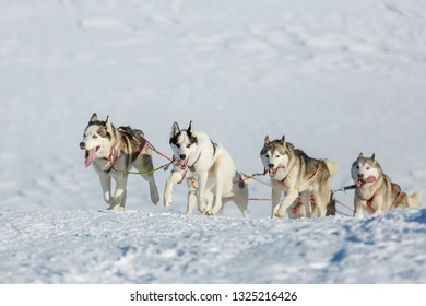Huskies team runs uphill