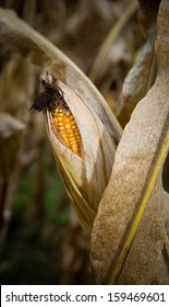 Husks have peeled away to expose kernels of corn.